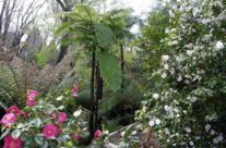 Cooperyii Tree fern & Camellias