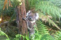 Garden visit by a Koala